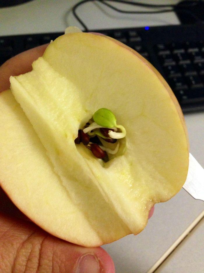 Una semilla ha comenzado a brotar dentro de la manzana