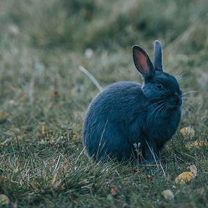azalea bunny