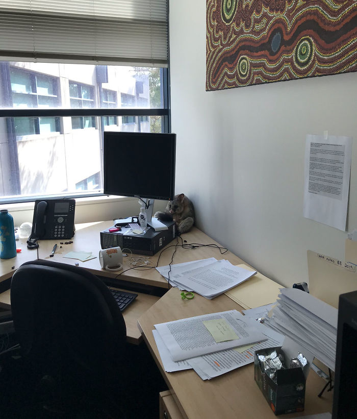Possum Trashes Woman's Office In Australia, Becomes A Meme