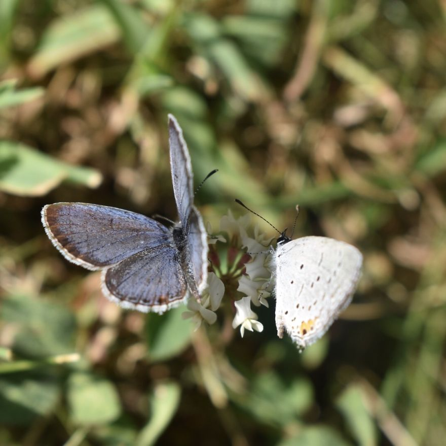Holly Blue Butterflies
