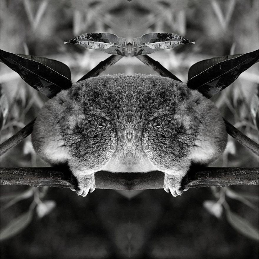 I Mirrored Koalas To Make People Reflect