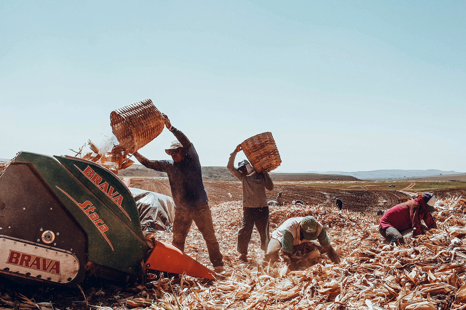 Photographer Documents The Harvest For Straw Cigarettes Production