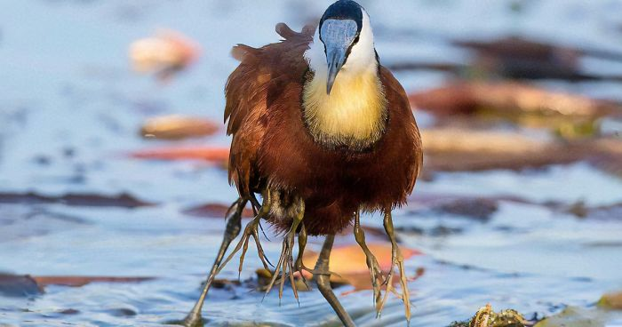 Image result for photo of jacana with hatchlings