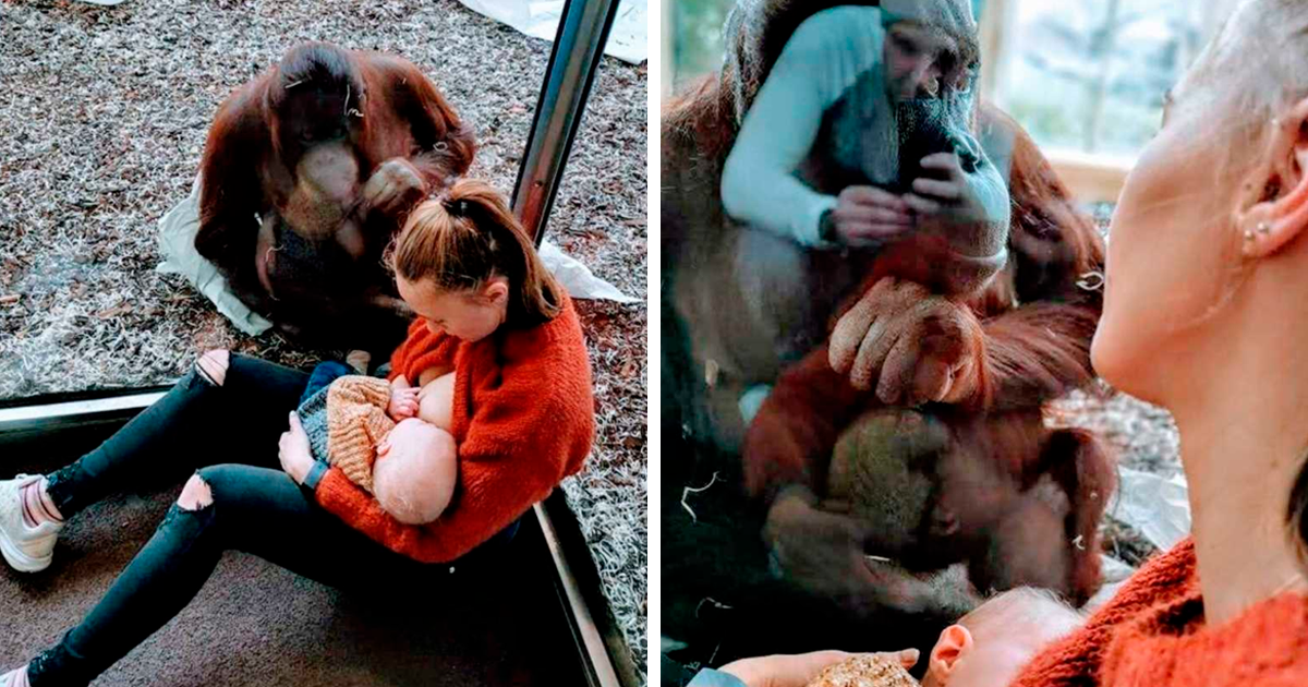 Mom Gets Breastfeeding Support From Orangutan, And It's Too Pure