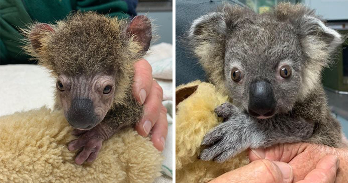 Dog Saves A Koala Joey From The Bushfires And He Makes A Stunning Recovery