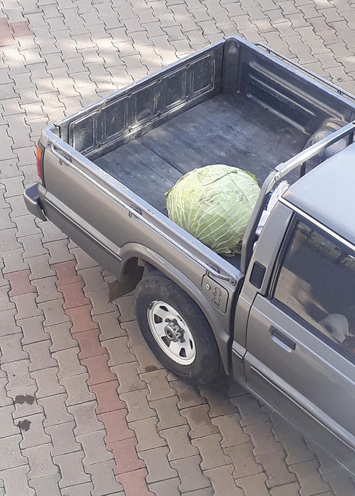 A Giant Cabbage