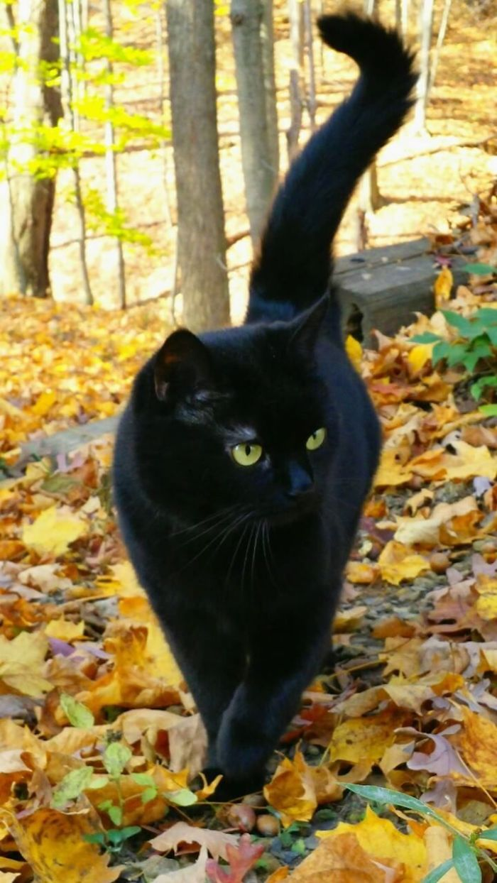 Someone Notices That Panthers Are Just XXXL Sized Black Cats, Compares Them In 16 Photos