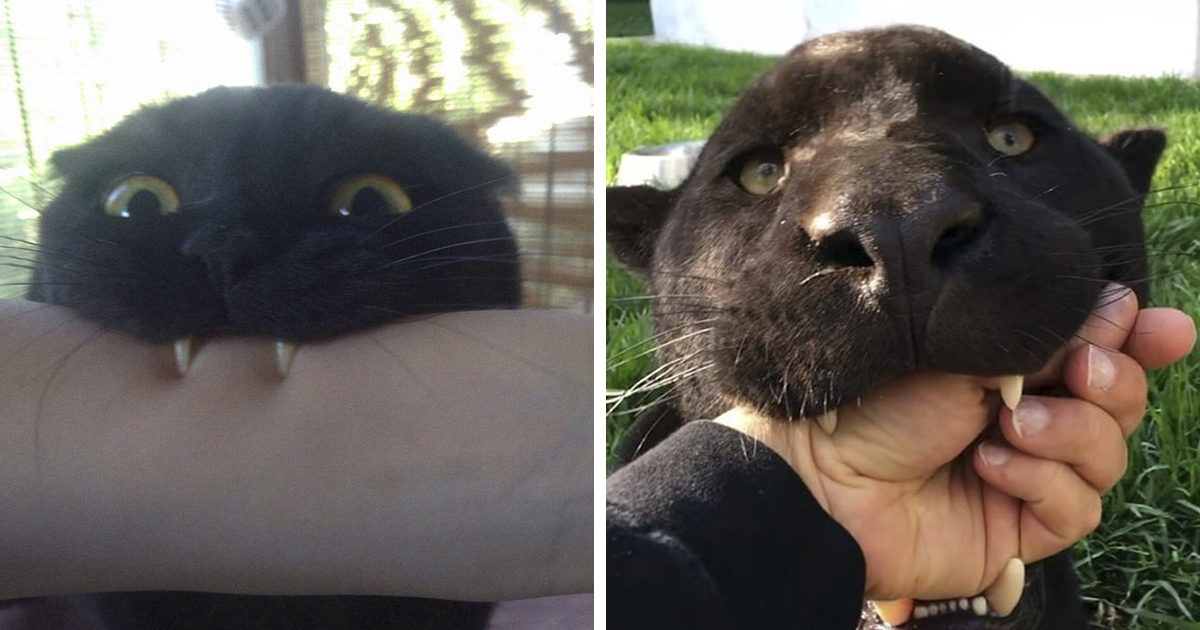 Someone Compares Black Cats To Panthers And They're Almost The Same (16 Pics)