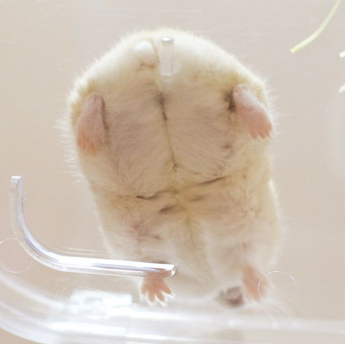 Cute-Hamster-Butts