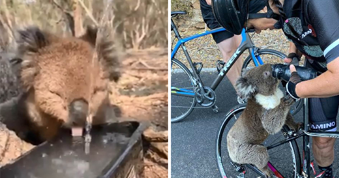 After One Koala Dies Due To Being Given Water Improperly, Vets Explain How To Do It Right