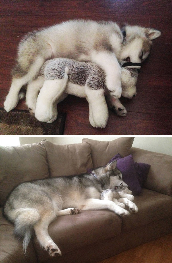 Meet Luca, The Alaskan Malamute That Loves To Destroy Her Toys, Except This One