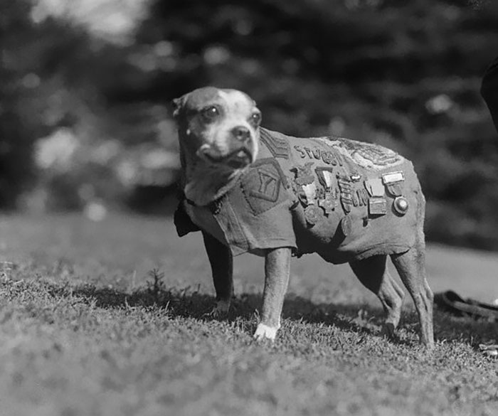 Sergeant Stubby Is The Most Decorated War Dog Of WWI, And The Only Dog To Be Nominated For Rank And Then Promoted To Sergeant Through Combat