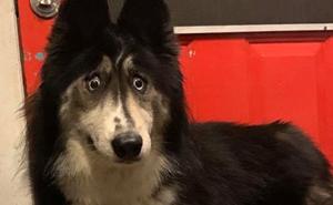 Se ha vuelto viral este husky que fue rechazado por un criador a causa de su aspecto extraño