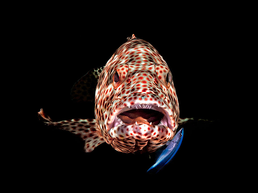 """1st Place - Ferenc Lorincz - Compact Behavior Category - """"Open Mouth Grouper"""""""