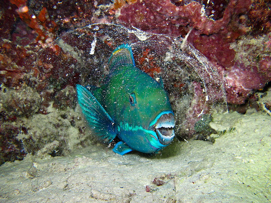"""2nd Place - Fabien Martinazzo - Compact Behavior Category - """"Protective Cocoon Of The Parrot Fish"""""""