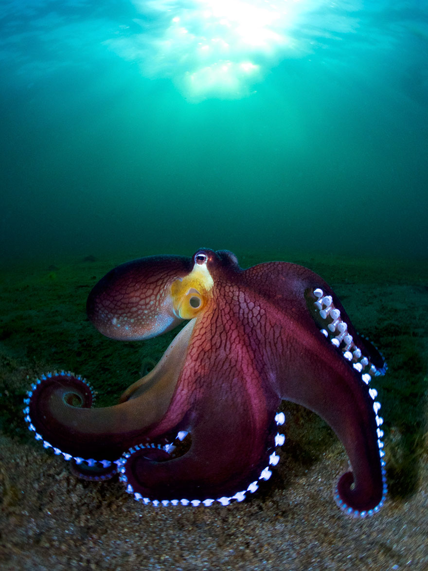"""Honorable Mention - Enrico Somogyi - Compact Wide Angle Category - """"Coconut Octopus"""""""