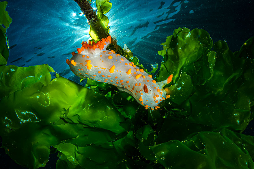 """4th Place - Mauro Apuleo - Nudibranchs Category - """"Green Field"""""""