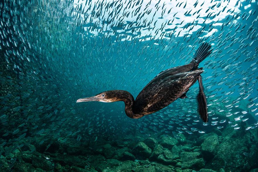 "Honorable Mention - Greg Lecoeur - Portrait Category - ""Cormoran Underwater"""