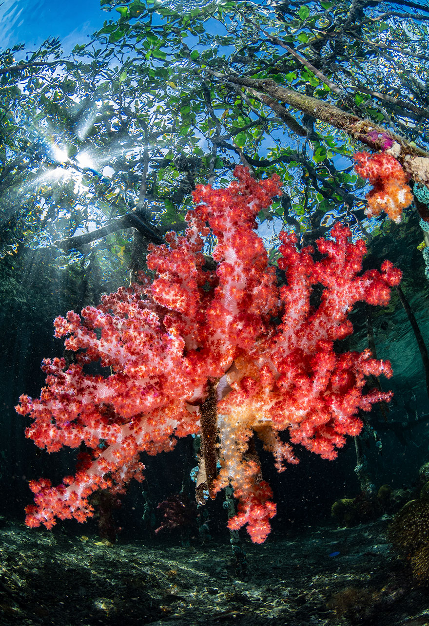 """2nd Place - Nicholas More - Reefscapes Category - """"Mangrove Soft Coral"""""""