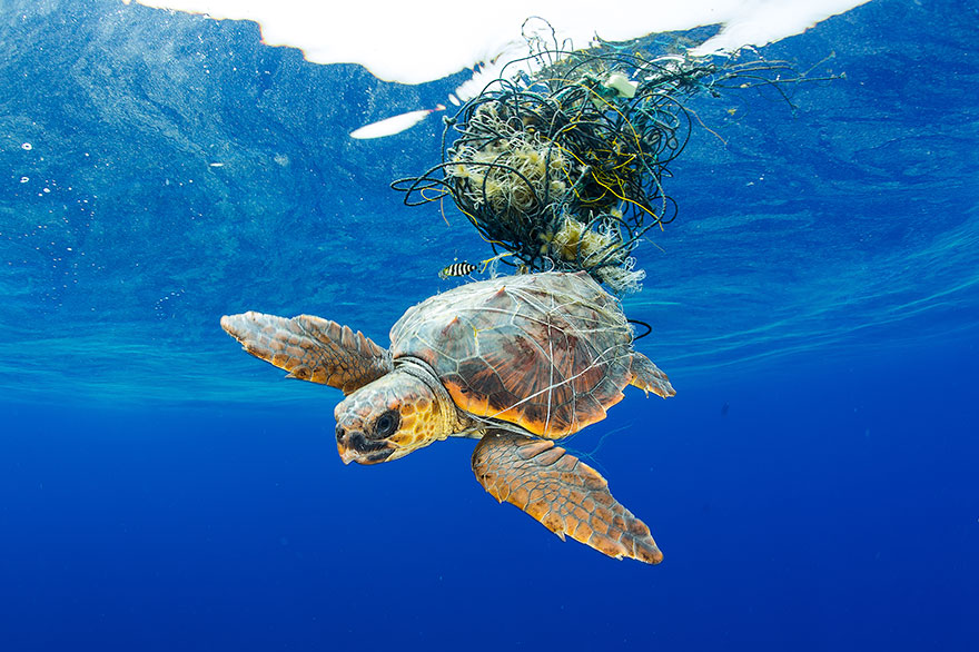 """5th Place - Francis Perez - Conservation Category - """"Sea Turtle Trapped"""""""