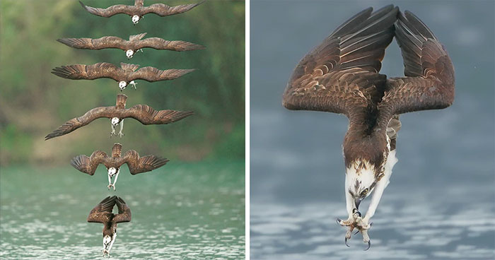 Photographer's Photos Of Ospreys In Hunting Mode Show How Calculated Everything In Nature Is