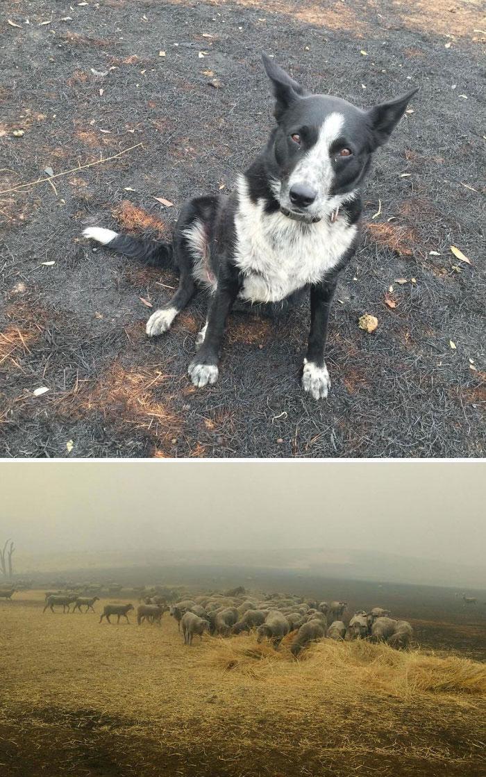 Dog Saves Flock Of Sheep From Australia's Raging Bushfires