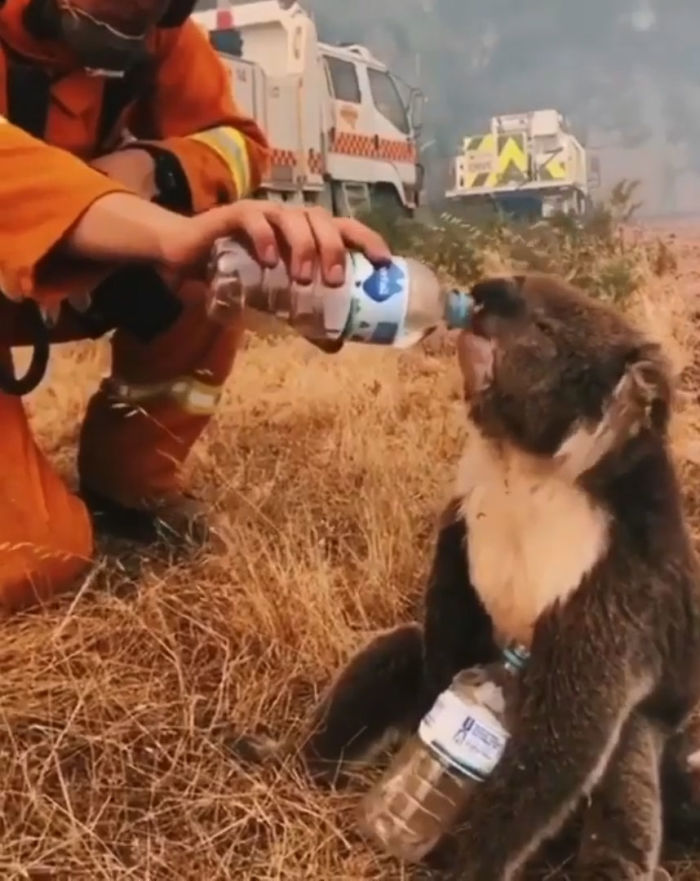 A Koala Drinks Water Offered From A Bottle By A Firefighter During Bushfires In Cudlee Creek, South Australia
