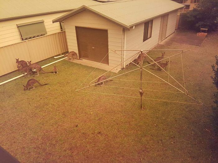 Kangaroos Gather On A Home's Lawn In Berrara Beach, Nsw, As Bushfires Spread