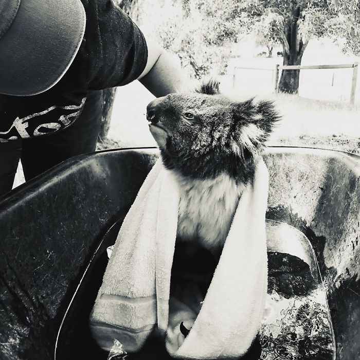Distressed At First, Dolly Calmed Down Quickly. We Needed To Get Her Still Hot Feet Cooled Down Fast So Made Do With Fresh, Clean Water In A Wheelbarrow. Dolly Appreciated A Big Drink And Pain Relief Before Being Transferred To Our New And Temporary Koala Emergency Centre At Paradise