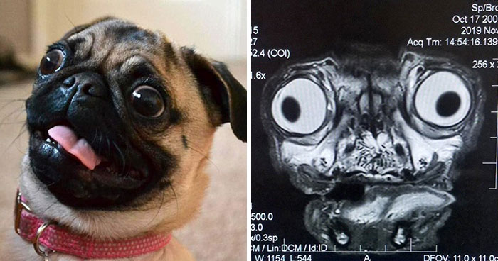 Someone Shows What A Pug's MRI Scan Looks Like And It's Pretty Terrifying