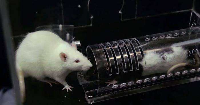 Rats Don't Deserve The Reputation They've Got And This Science Experiment On Rat Friendship Proves It