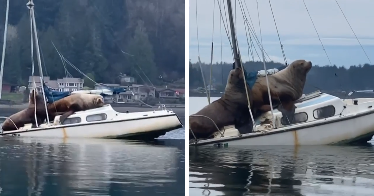 "Two Gigantic Sea Lions ""Borrow"" Someone's Boat, And The Video Is Ridiculous"