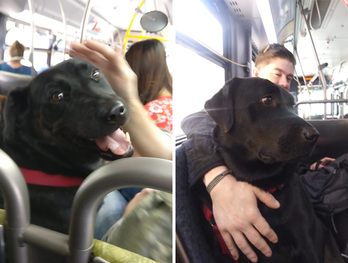 This Good Girl Takes The Bus Everyday To The Dog Park All By Herself And Even Has Her Own Bus Pass Attached To Her Collar