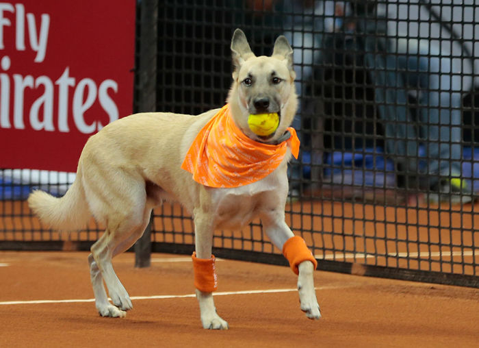 Shelter Dogs Served As 'Ball Boys' At Brazil Tennis Open To Bring Awareness To Brazil's Street Animals And Promote Their Adoption
