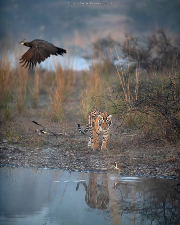 Indian Photographer Nitish Madan Captures Breathtaking Moments From The Lives Of Tigers