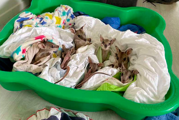 These Adorable Wallaby Babies That Were Rescued From The Australian Bushfires Got Named After Celebs Who Donated To Fire Funds