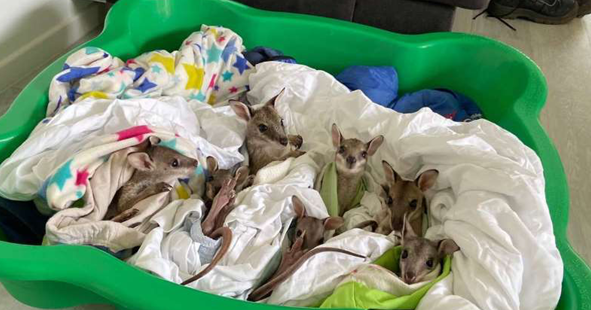 Meet Chris, Rebel, And Margot - Three Baby Wallabies Rescued From The Australian Fires And Named After Celebs