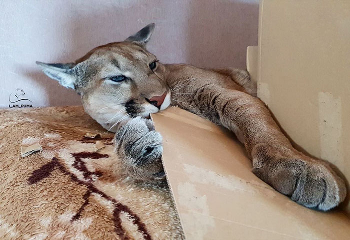 Rescue Puma Can't Be Released Into The Wild, Lives His Best Life As A Spoiled House Cat (New Pics)