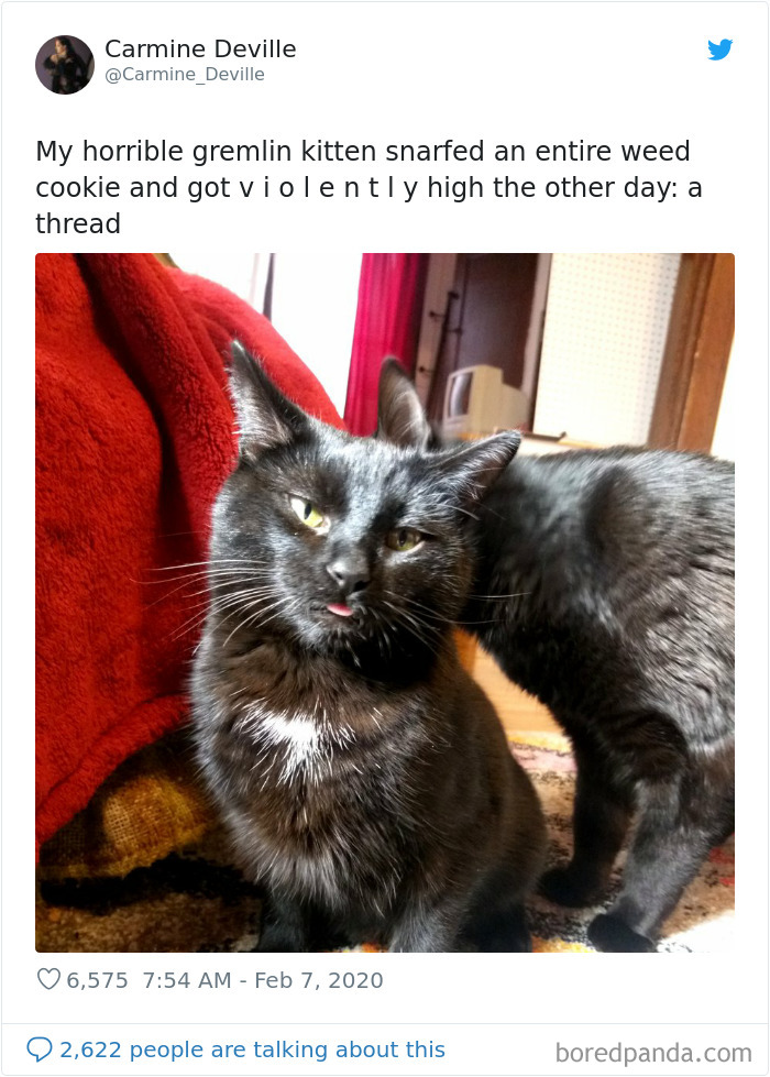 Woman Leaves A Weed Cookie Lying Unattended For A Minute, Her Cat Steals It And Eats It