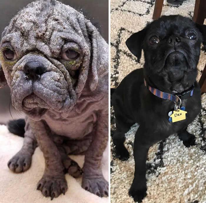 This Is Dex. He Fought For His Life After Having Been Left For Dead On The Streets Of Austin. After 10 Weeks Of Being Nursed Back To Health By Pug Rescue Austin, We Were Lucky Enough To Adopt Him In Our Loving Home