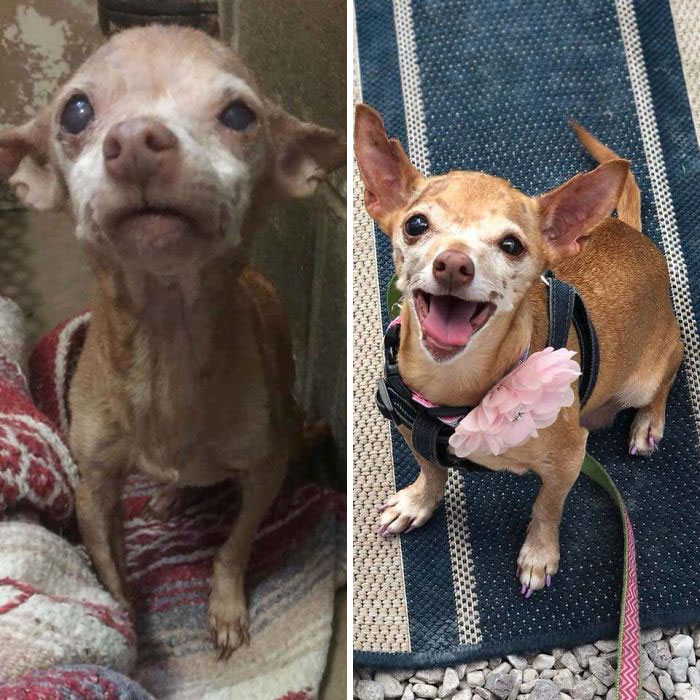 This Is Ruthie, Our 16yr Old Chihuahua Mix. December Close To Death In The Shelter Compared To Now. Old Dogs Are Worth Adopting Too!