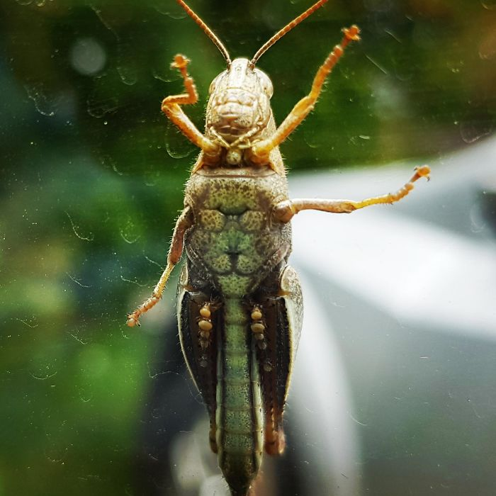 There Is A Lion Wearing Sunglasses On The Belly Of This Grasshopper