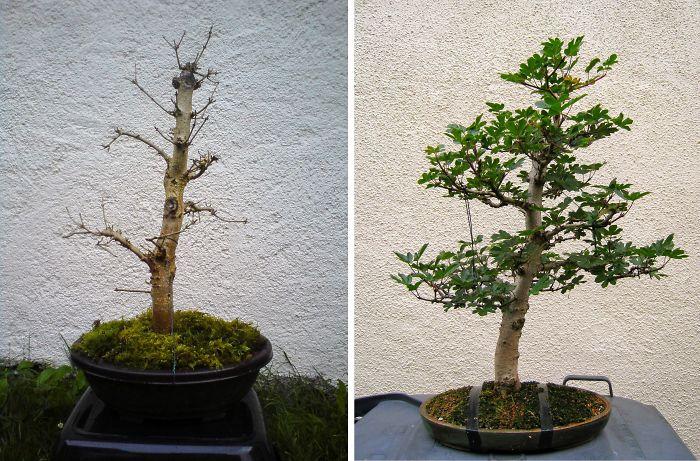 Field Maple Progress Over 2 Years
