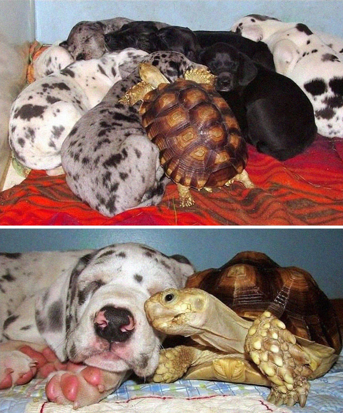 Rescued Tortoise Is Now A Part Of A Great Dane Litter