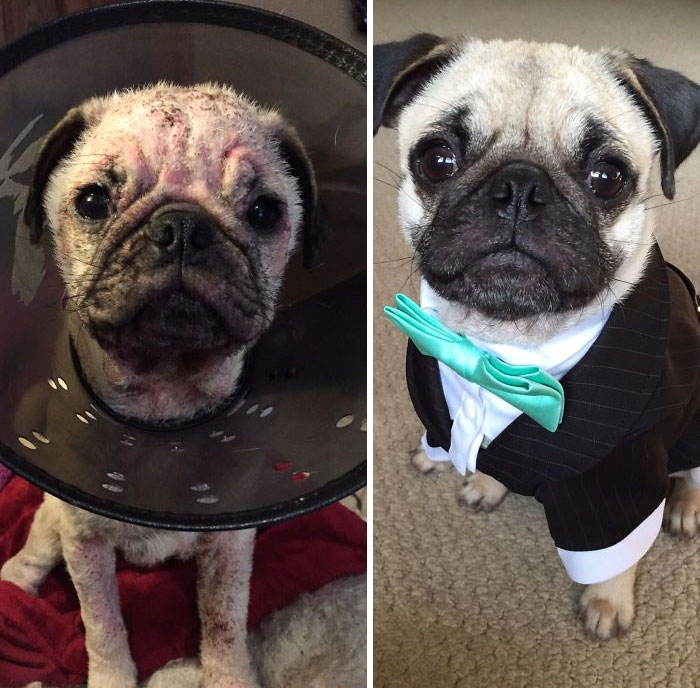 Our Pug Had A Hard Start To Life. Raised By A Trucker Who Couldn't Take Care Of Him And Get Him The Treatment He Needed. Then A Vet Who Didn't Diagnose Him Correctly. Now He's A Healthy Stud-Muffin!