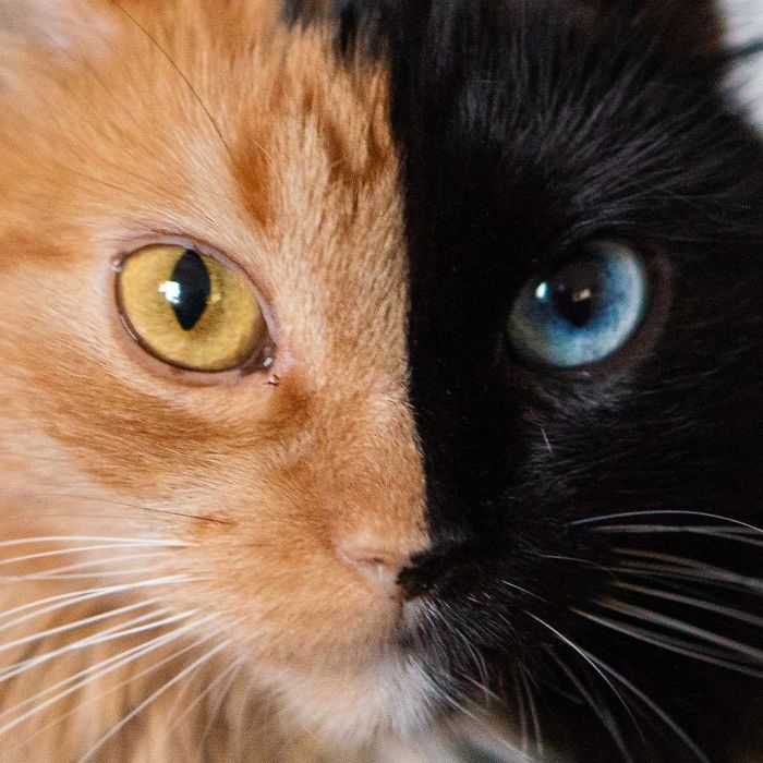 Quimera Cat