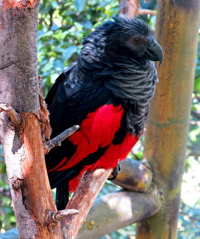Papiga Drakula