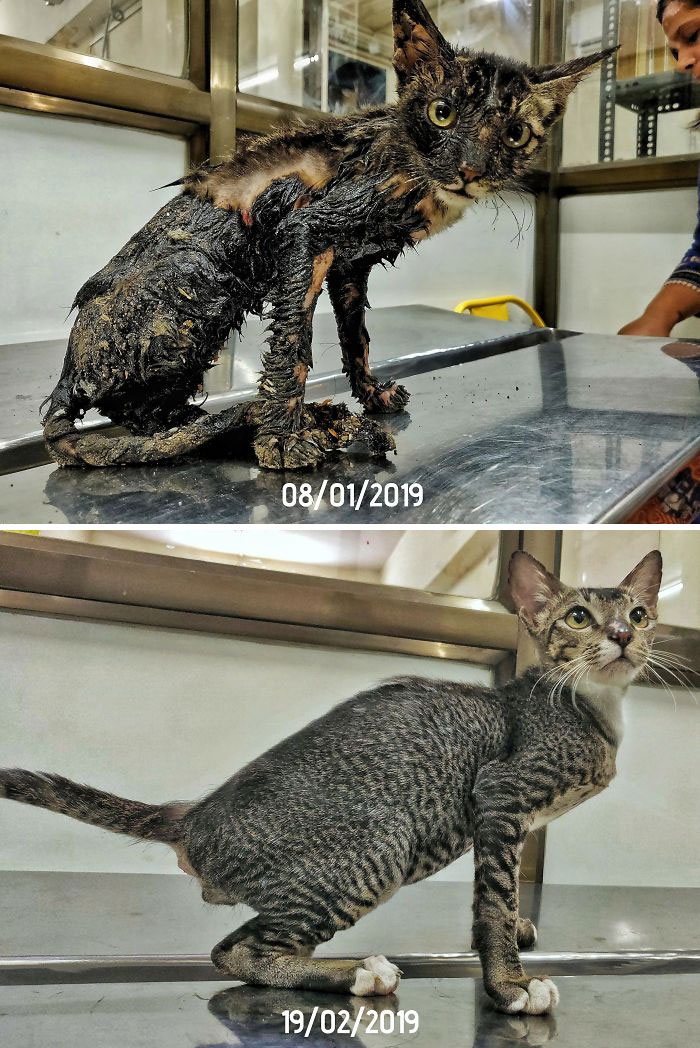 Phoenix Was Rescued From The Streets And Was Covered In Hot Tar. Little Over A Month Later, He Looks Amazing, He Loves Humans And Is Ready To Enter A Loving Home