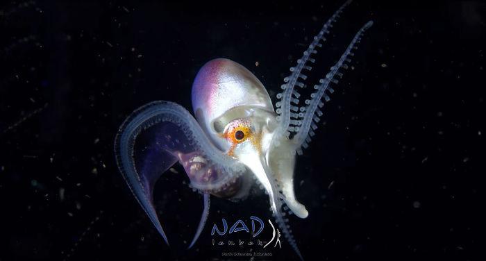 blanket-octopus-iridescent-membrane-2-5e566faf5a545__700.jpg<br class=