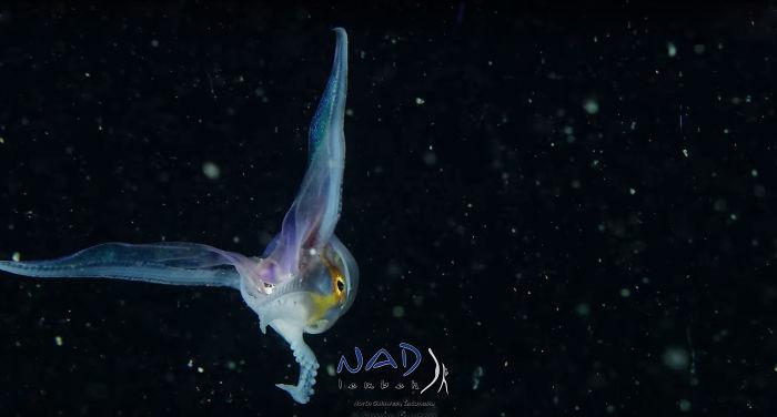 blanket-octopus-iridescent-membrane-3-5e566fa8c43c9__700.jpg<br class=